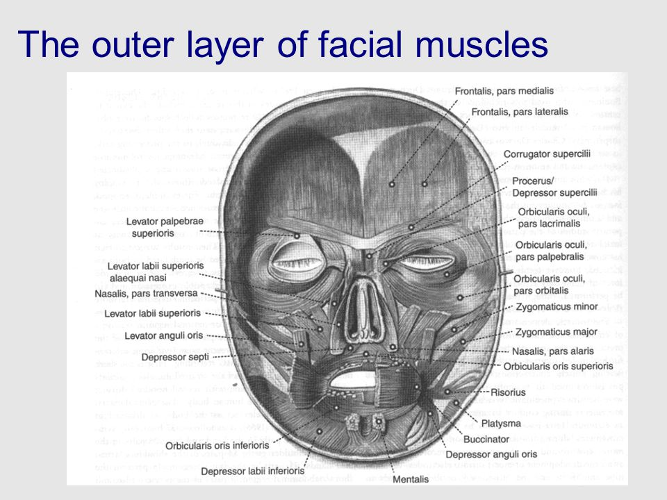 The outer layer of facial muscles