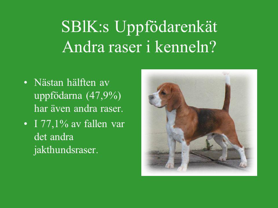 SBlK:s Uppfödarenkät Antal vuxna beaglar i kenneln.