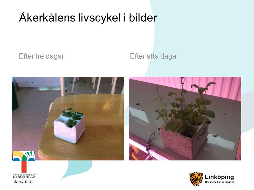 Åkerkålens livscykel i bilder Efter tre dagarEfter åtta dagar Markus Nyhlén