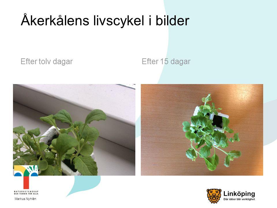 Åkerkålens livscykel i bilder Efter tolv dagarEfter 15 dagar Markus Nyhlén