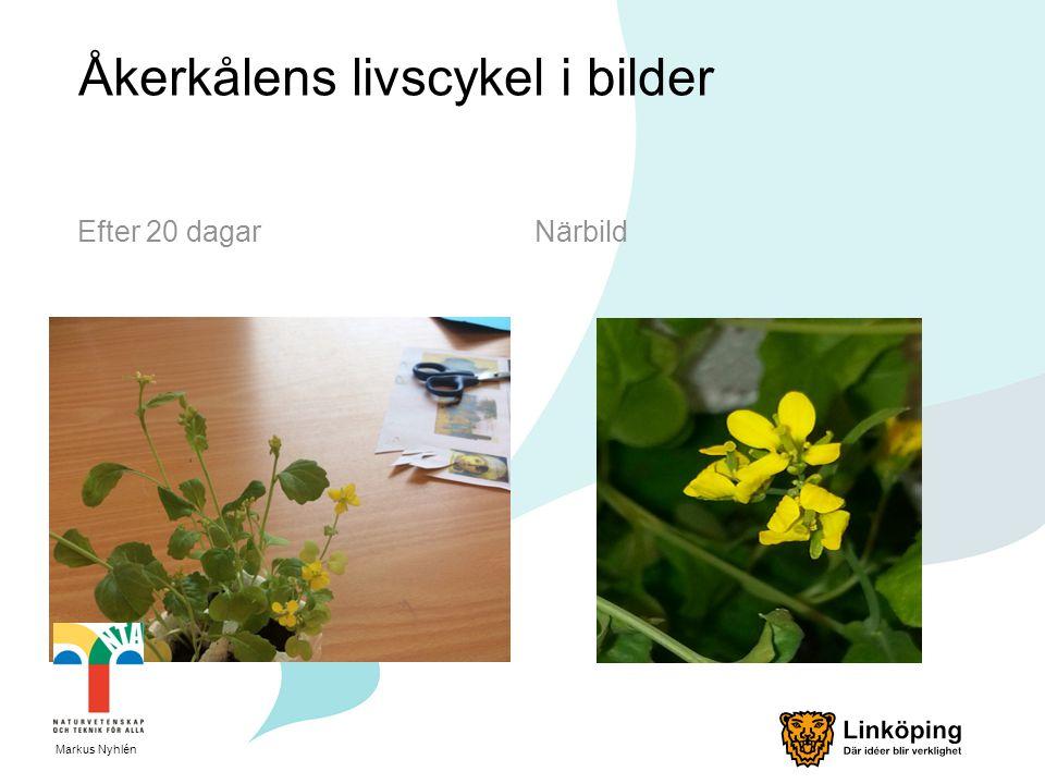 Åkerkålens livscykel i bilder Efter 20 dagarNärbild Markus Nyhlén