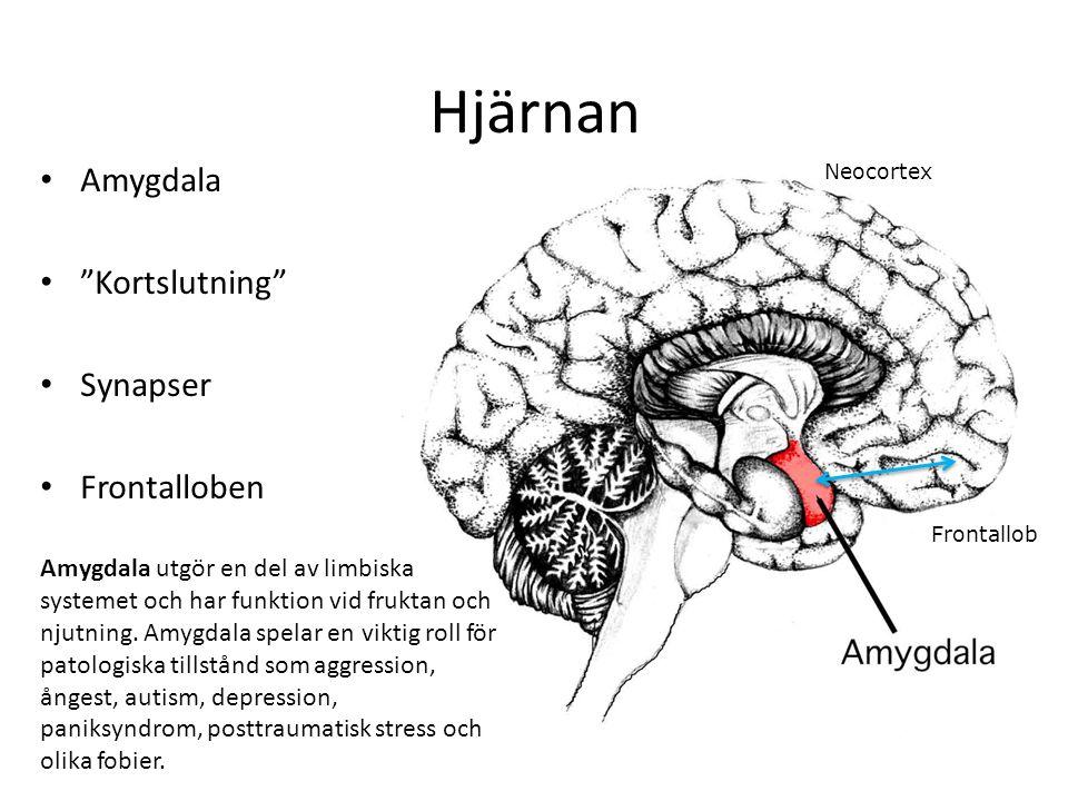 """Hjärnan Amygdala """"Kortslutning"""" Synapser Frontalloben Neocortex Frontallob Amygdala utgör en del av limbiska systemet och har funktion vid fruktan och"""