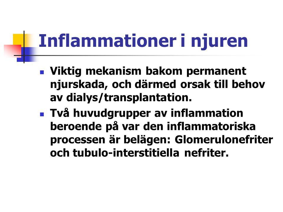 Inflammationer i njuren Viktig mekanism bakom permanent njurskada, och därmed orsak till behov av dialys/transplantation. Två huvudgrupper av inflamma