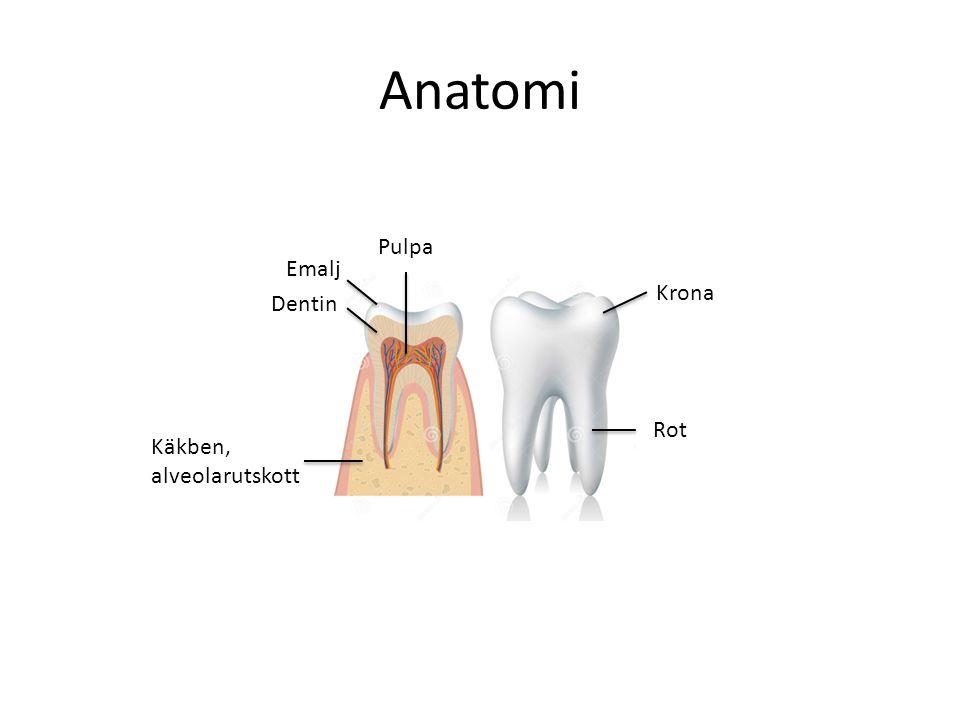Anatomi Emalj Dentin Pulpa Rot Krona Käkben, alveolarutskott