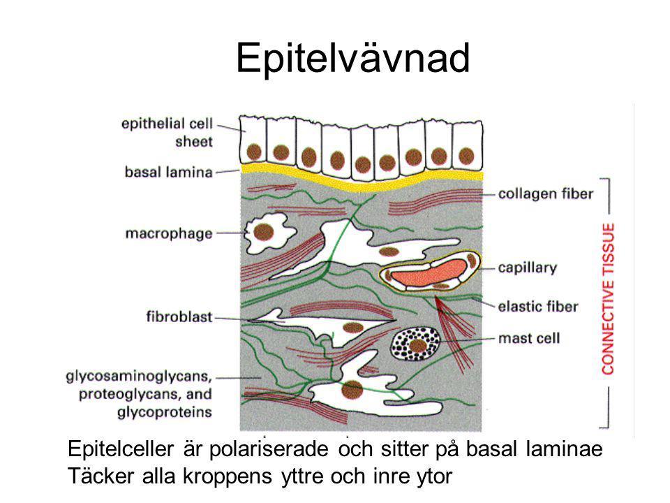 Epitelvävnad Epitelceller är polariserade och sitter på basal laminae Täcker alla kroppens yttre och inre ytor
