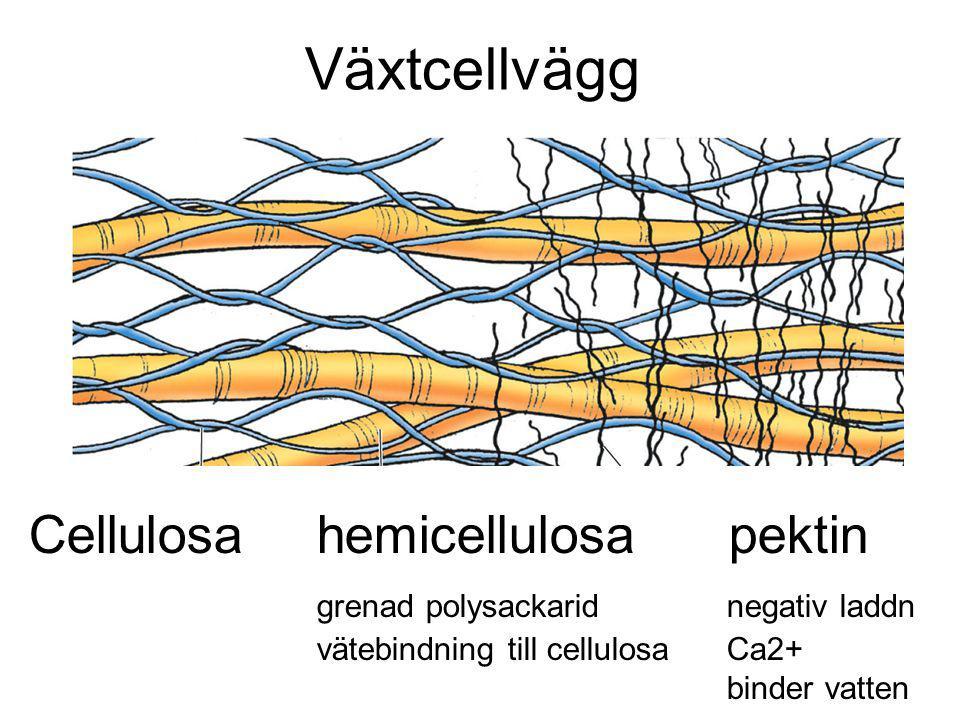Växtcellvägg Cellulosahemicellulosa pektin grenad polysackarid negativ laddn vätebindning till cellulosa Ca2+ binder vatten