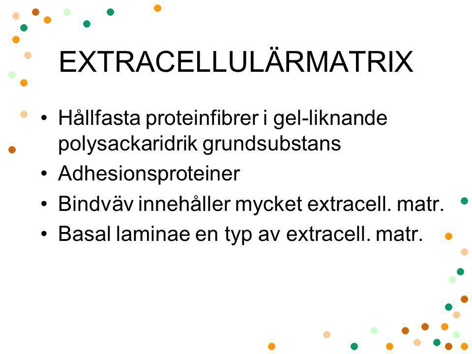 EXTRACELLULÄRMATRIX Hållfasta proteinfibrer i gel-liknande polysackaridrik grundsubstans Adhesionsproteiner Bindväv innehåller mycket extracell. matr.