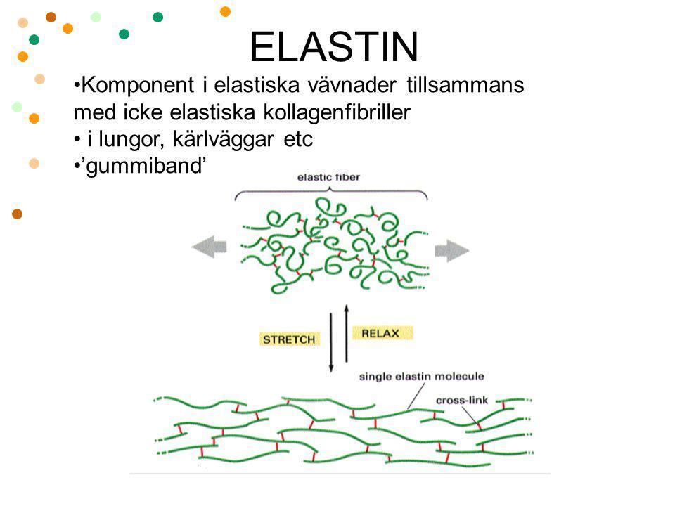 ELASTIN Komponent i elastiska vävnader tillsammans med icke elastiska kollagenfibriller i lungor, kärlväggar etc 'gummiband'