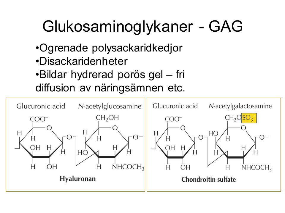 Glukosaminoglykaner - GAG Ogrenade polysackaridkedjor Disackaridenheter Bildar hydrerad porös gel – fri diffusion av näringsämnen etc.