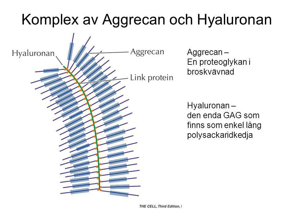 Komplex av Aggrecan och Hyaluronan Aggrecan – En proteoglykan i broskvävnad Hyaluronan – den enda GAG som finns som enkel lång polysackaridkedja