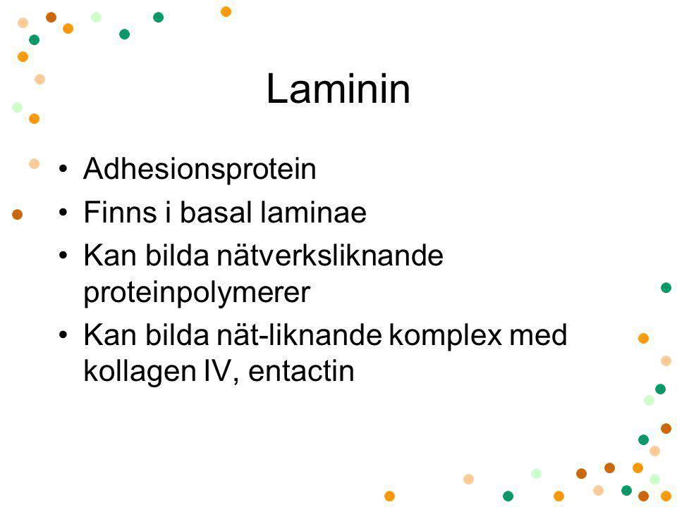 Laminin Adhesionsprotein Finns i basal laminae Kan bilda nätverksliknande proteinpolymerer Kan bilda nät-liknande komplex med kollagen IV, entactin
