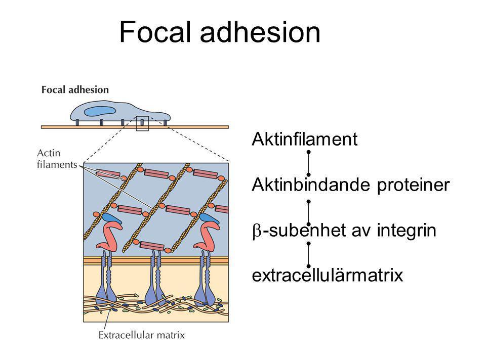 Focal adhesion Aktinfilament Aktinbindande proteiner  -subenhet av integrin extracellulärmatrix
