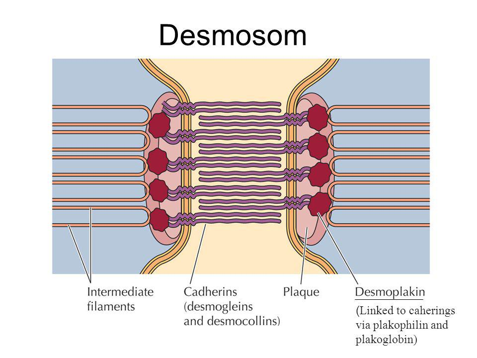 Desmosom ( Linked to caherings via plakophilin and plakoglobin)