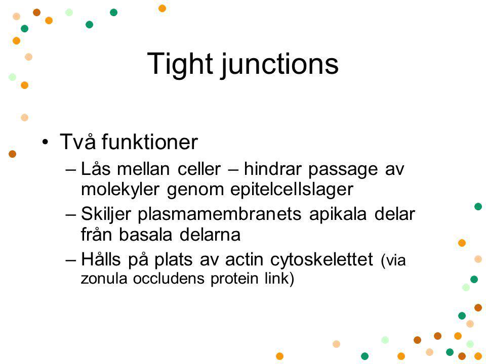 Tight junctions Två funktioner –Lås mellan celler – hindrar passage av molekyler genom epitelcellslager –Skiljer plasmamembranets apikala delar från b