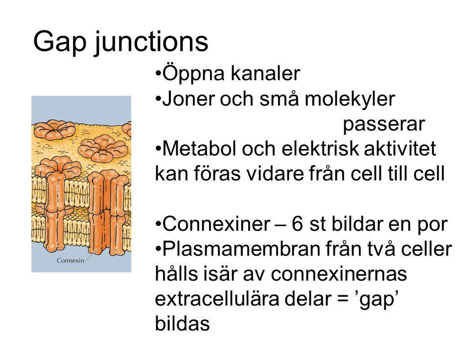 Gap junctions Öppna kanaler Joner och små molekyler passerar Metabol och elektrisk aktivitet kan föras vidare från cell till cell Connexiner – 6 st bi