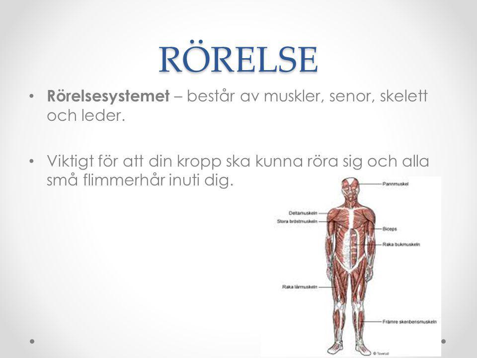RÖRELSE Rörelsesystemet – består av muskler, senor, skelett och leder. Viktigt för att din kropp ska kunna röra sig och alla små flimmerhår inuti dig.