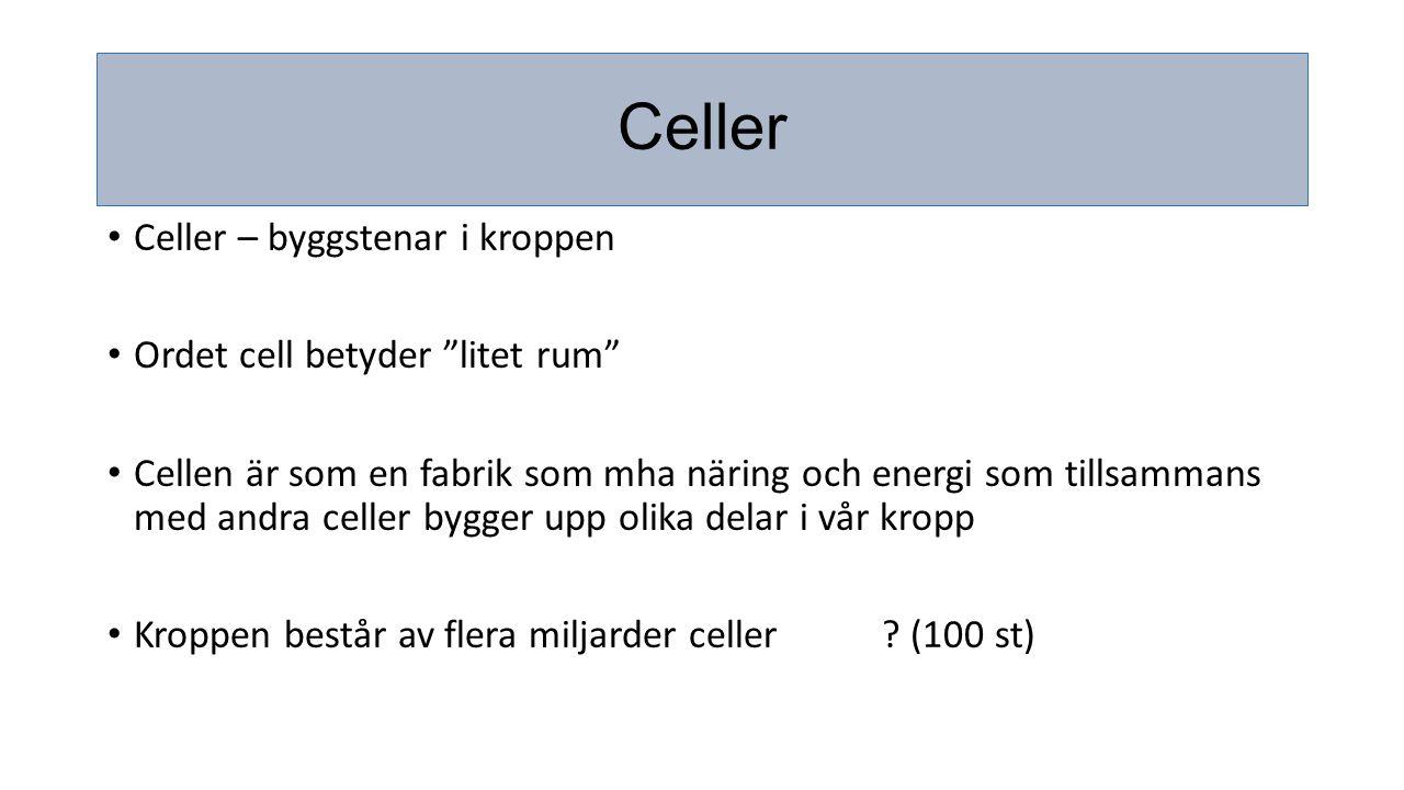 """Celler Celler – byggstenar i kroppen Ordet cell betyder """"litet rum"""" Cellen är som en fabrik som mha näring och energi som tillsammans med andra celler"""