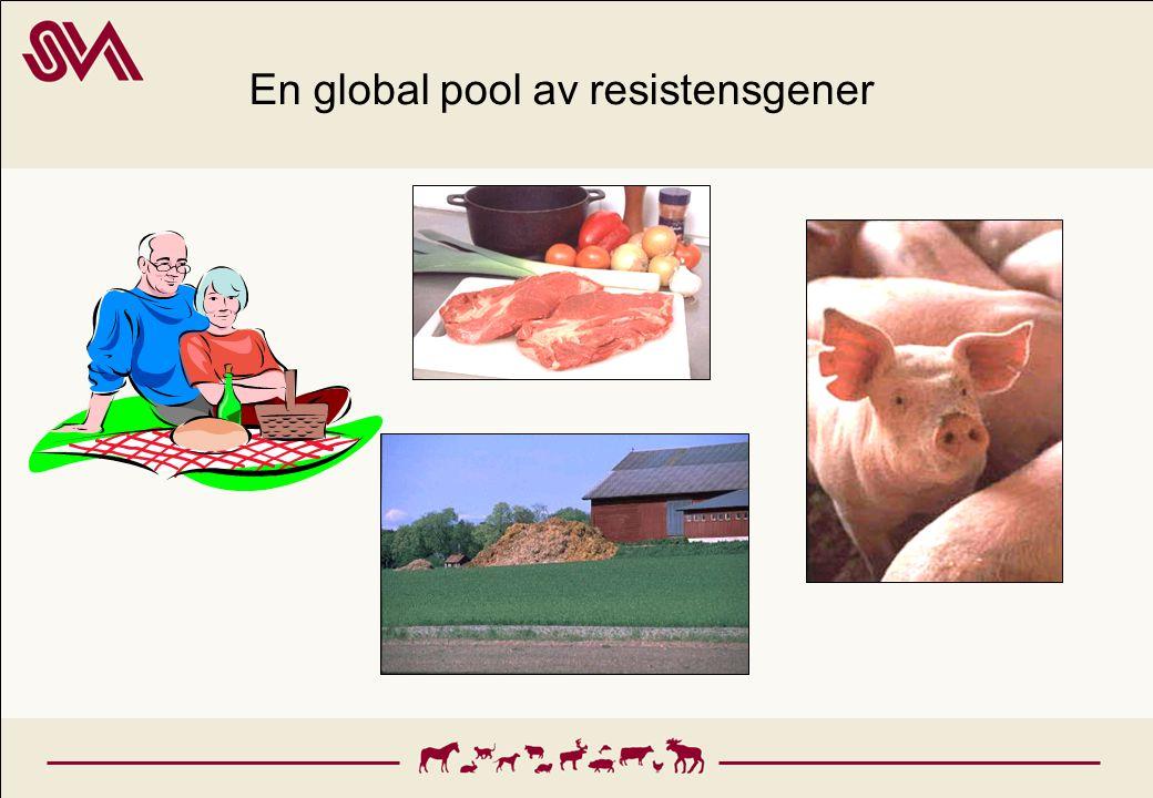 Resistens hos bakterier som orsakar sjukdom hos djur, SVARM 2004 resistens hos kolibakterier från svin och häst ökar 7-29% multiresistens hos kolibakterier från olika djurslag 38% av stafylokocker från hund multiresistenta