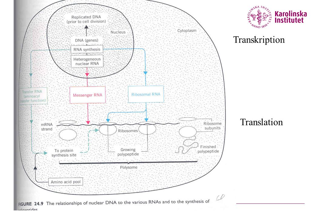 Transkription Translation