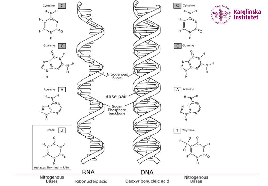 OrganismAntal kromosomerOrganismAntal kromosomer bananfluga8människa46 råg14apa48 marsvin16får54 duva16häst64 snigel24kyckling78 daggmask32karp104 gris40fjäril~380 vete42ormbunke~1200