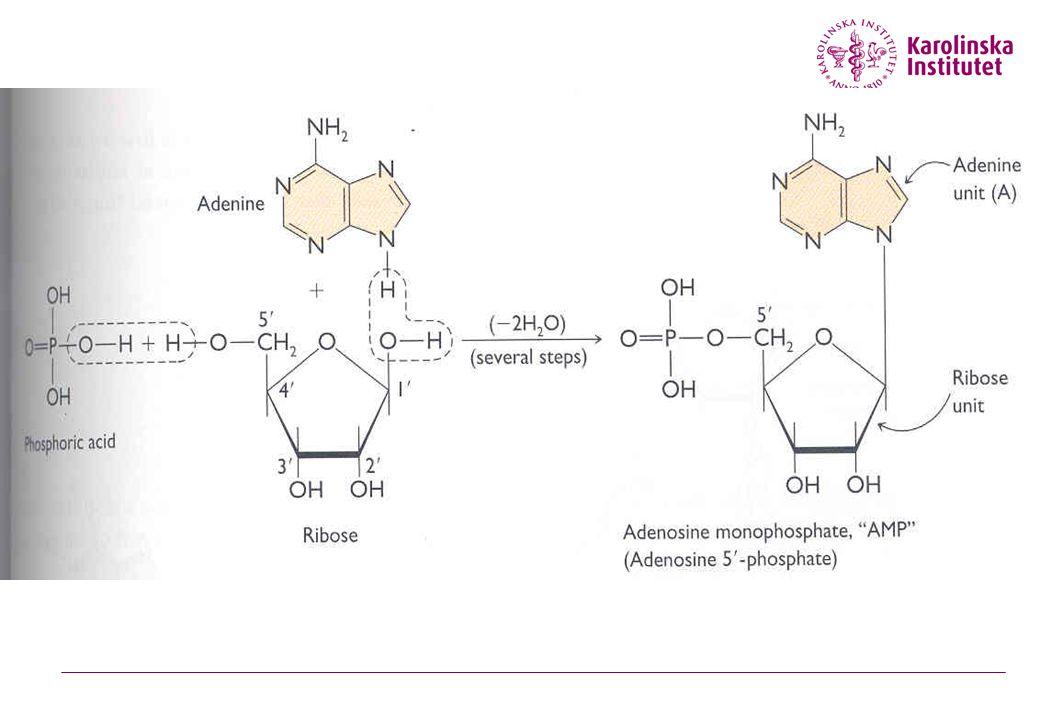 ATP adenosine triphosphate  Energi förvaras i fosfatbindningar