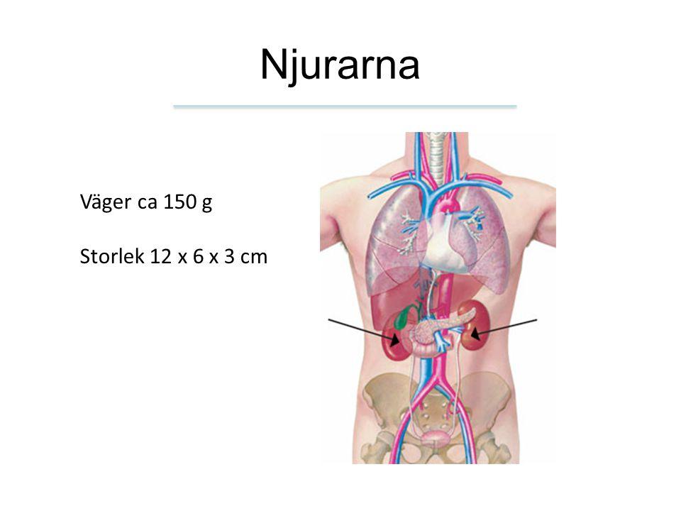 Filtrationen genom kärlnystanet minskar eller upphör – urinproduktionen minskar – akut njursvikt