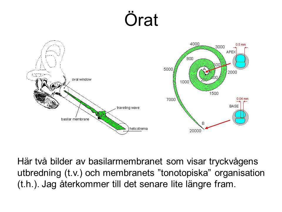 """Örat Här två bilder av basilarmembranet som visar tryckvågens utbredning (t.v.) och membranets """"tonotopiska"""" organisation (t.h.). Jag återkommer till"""