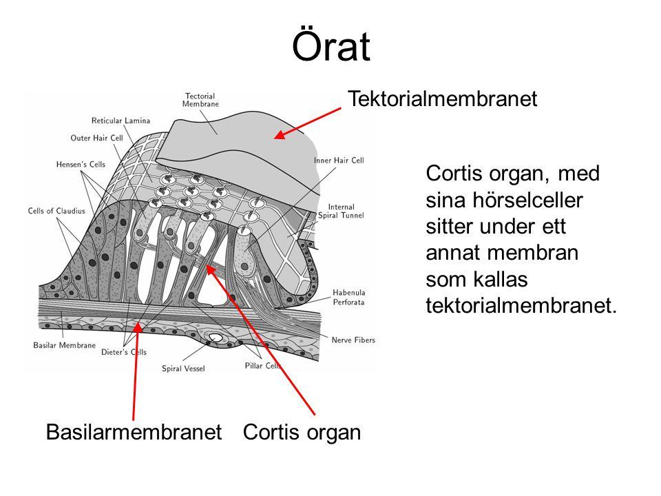 Cortis organ, med sina hörselceller sitter under ett annat membran som kallas tektorialmembranet. Basilarmembranet Cortis organ Tektorialmembranet