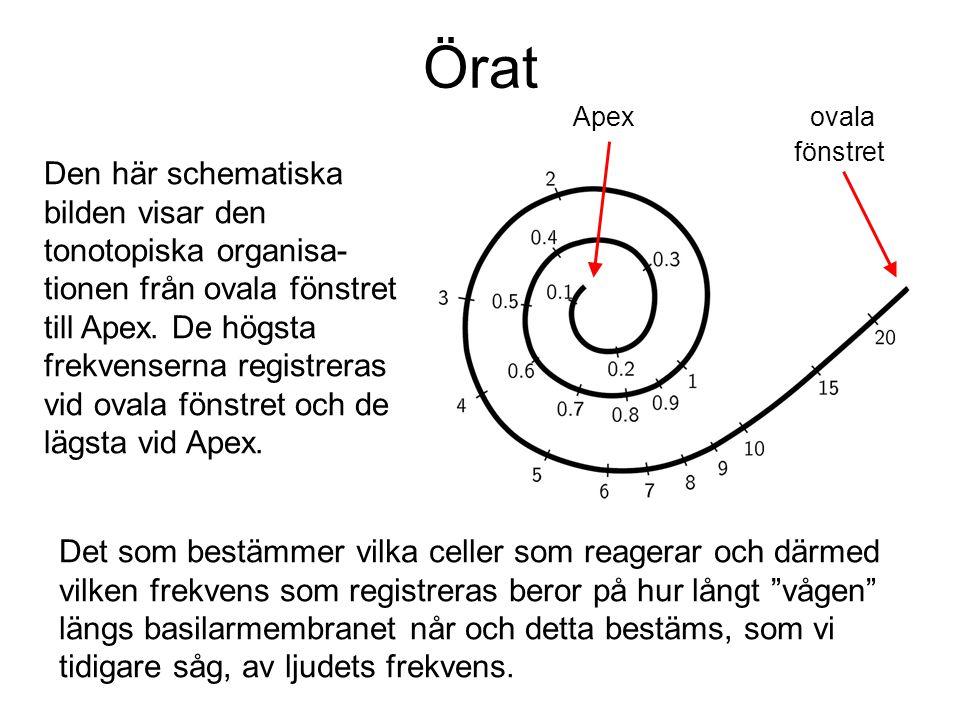Örat Den här schematiska bilden visar den tonotopiska organisa- tionen från ovala fönstret till Apex. De högsta frekvenserna registreras vid ovala fön