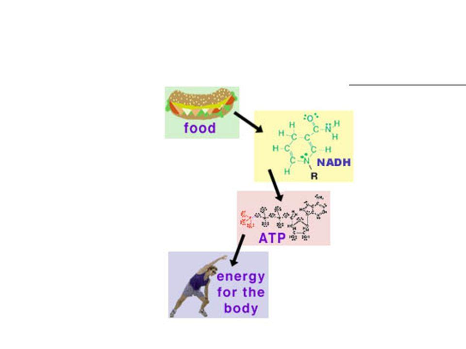 Glykoneogenes Nybildning av glukos