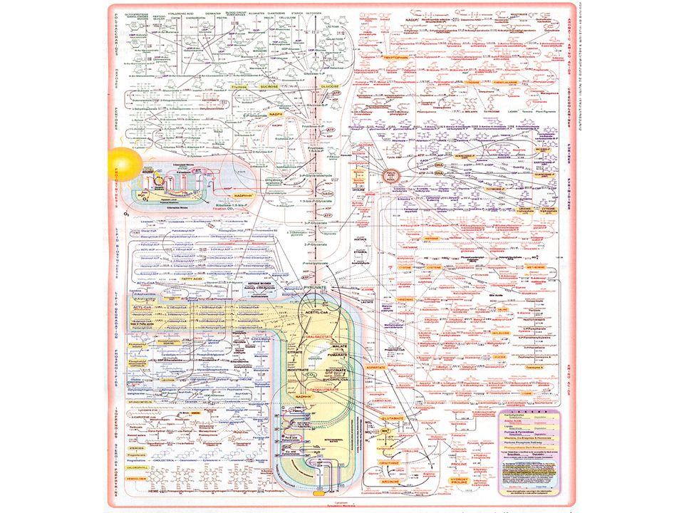 Metabolismen på vår nivå Detaljstudera 1 metabolism Fundera på för varje reaktion: VAR.