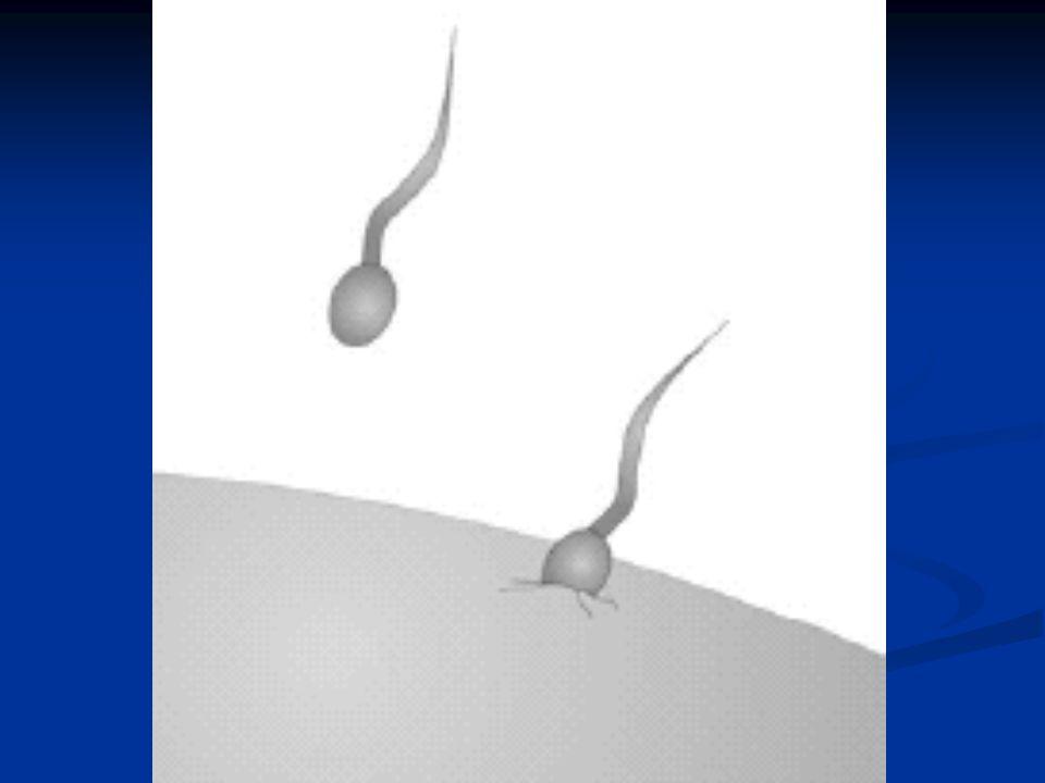 De första tre månaderna av graviditeten är fostret speciellt känsligt.