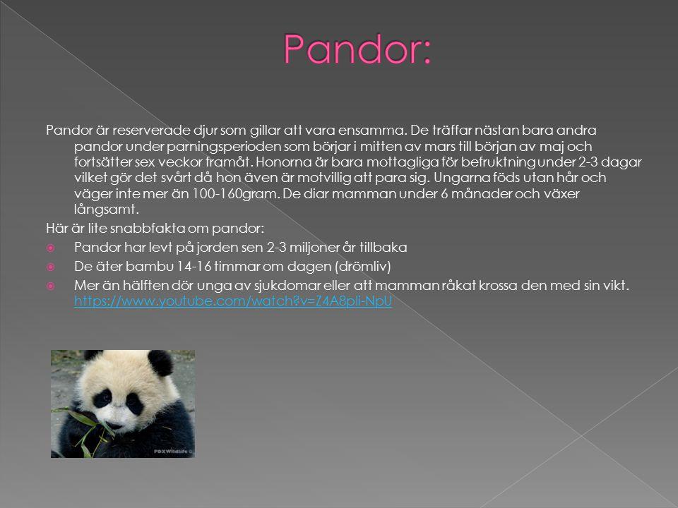 Pandor är reserverade djur som gillar att vara ensamma. De träffar nästan bara andra pandor under parningsperioden som börjar i mitten av mars till bö