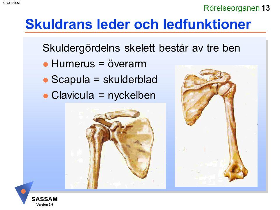 Rörelseorganen 13 SASSAM Version 1.1 © SASSAM SASSAM Version 2.0 Skuldrans leder och ledfunktioner Skuldergördelns skelett består av tre ben l Humerus
