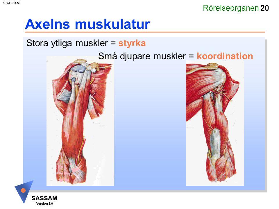 Rörelseorganen 20 SASSAM Version 1.1 © SASSAM SASSAM Version 2.0 Axelns muskulatur Stora ytliga muskler = styrka Små djupare muskler = koordination