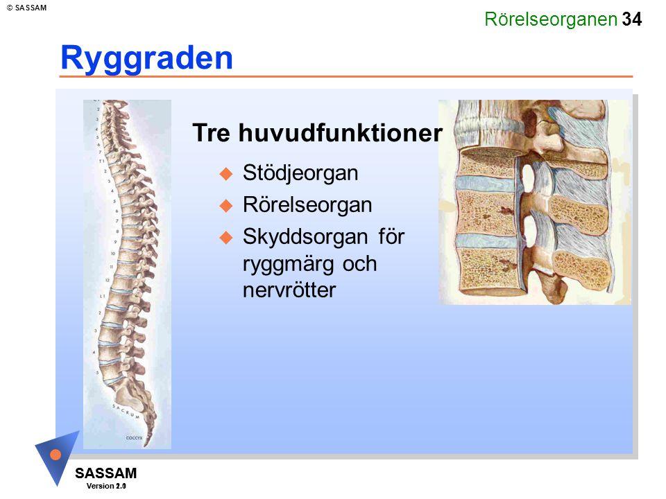 Rörelseorganen 34 SASSAM Version 1.1 © SASSAM SASSAM Version 2.0 Ryggraden u Stödjeorgan u Rörelseorgan u Skyddsorgan för ryggmärg och nervrötter Tre