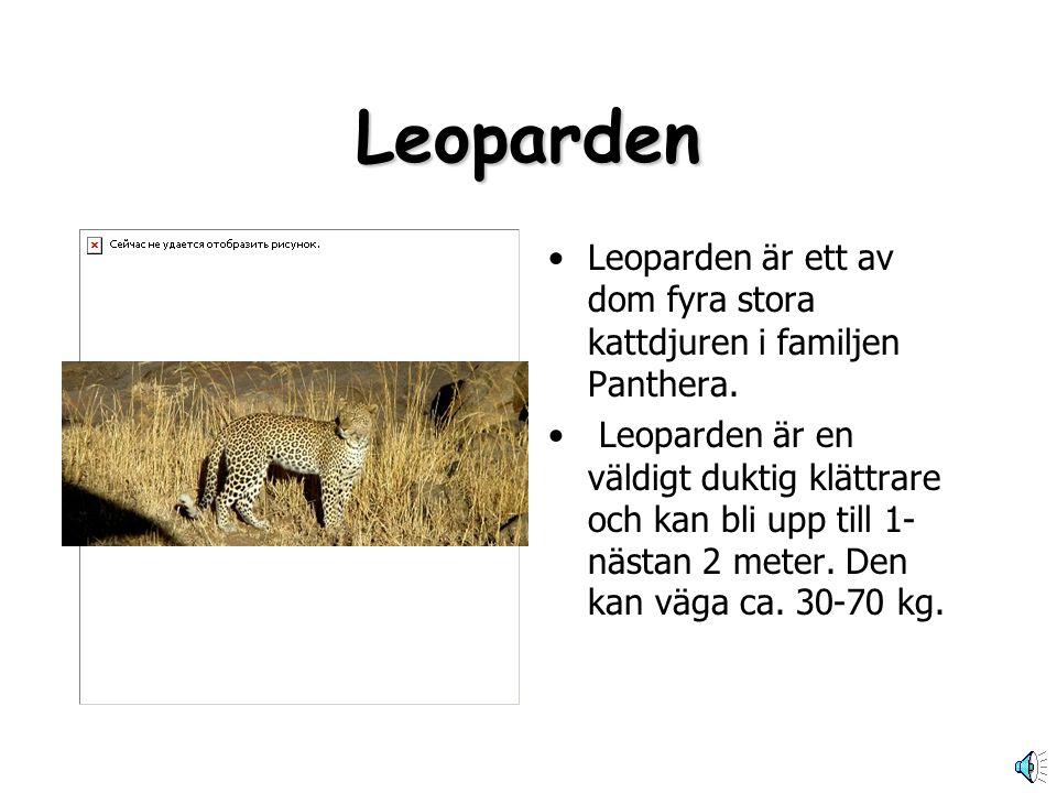 Leoparden Leoparden är ett av dom fyra stora kattdjuren i familjen Panthera.