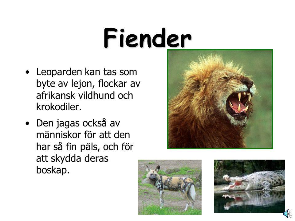 Fiender Leoparden kan tas som byte av lejon, flockar av afrikansk vildhund och krokodiler.