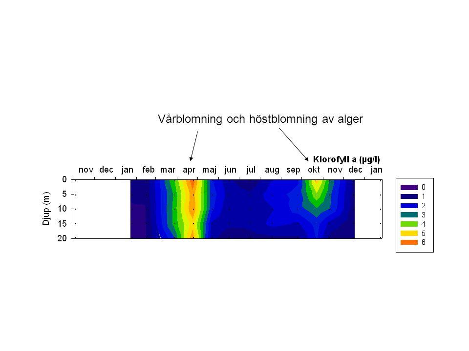 Vårblomning och höstblomning av alger