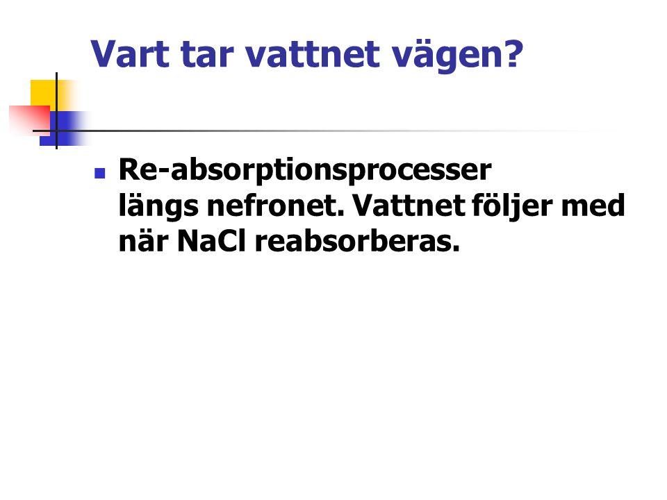 Vart tar vattnet vägen? Re-absorptionsprocesser längs nefronet. Vattnet följer med när NaCl reabsorberas.