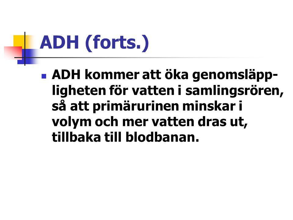 ADH (forts.) ADH kommer att öka genomsläpp- ligheten för vatten i samlingsrören, så att primärurinen minskar i volym och mer vatten dras ut, tillbaka