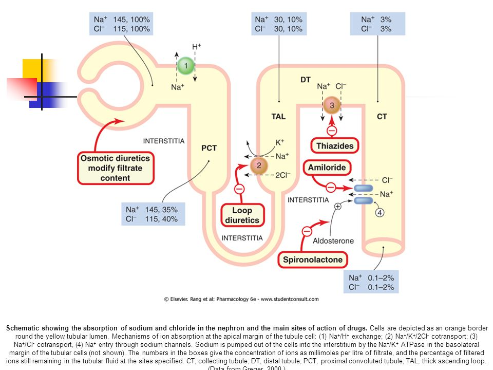 Schematic showing the absorption of sodium and chloride in the nephron and the main sites of action of drugs. Cells are depicted as an orange border r