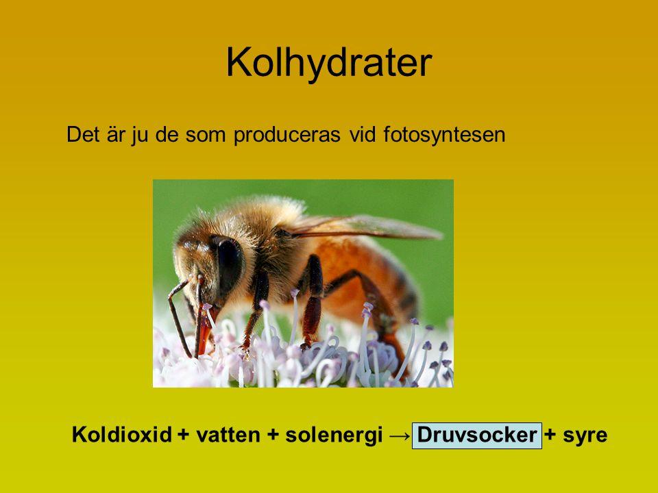 Kolhydrater Det är ju de som produceras vid fotosyntesen Koldioxid + vatten + solenergi → Druvsocker + syre