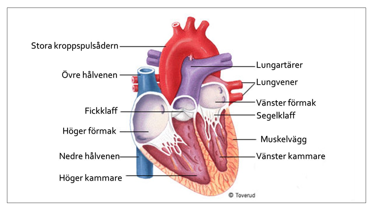 Stora kroppspulsådern Övre hålvenen Fickklaff Höger förmak Höger kammare Nedre hålvenen Lungvener Lungartärer Segelklaff Vänster förmak Vänster kammar