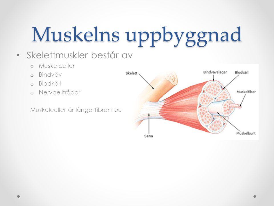 Muskelns uppbyggnad Skelettmuskler består av o Muskelceller o Bindväv o Blodkärl o Nervcelltrådar Muskelceller är långa fibrer i buntar.