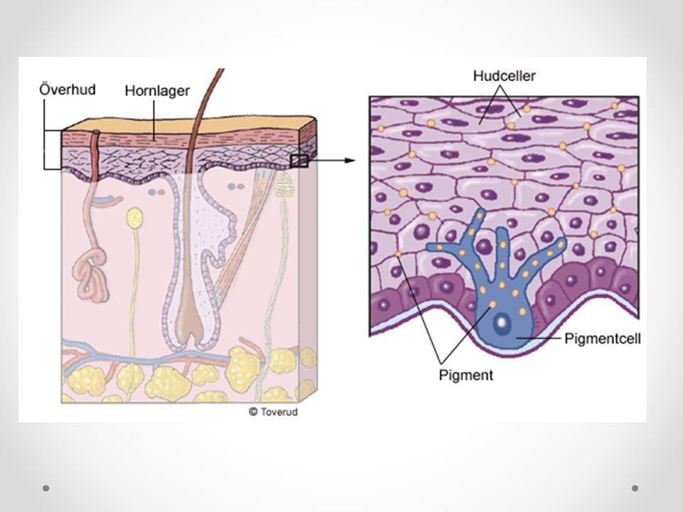 Läderhuden Läderhuden innehåller bindväv, hårsäckar, talg- och svettkörtlar, blodkärl och sinnesceller.