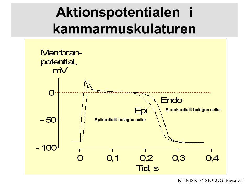 Aktionspotentialen i kammarmuskulaturen Endokardiellt belägna celler Epikardiellt belägna celler KLINISK FYSIOLOGI Figur 9:5