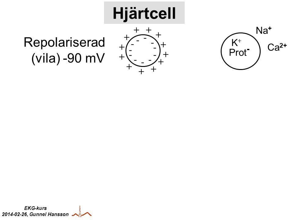 EKG-kurs 2014-02-26, Gunnel Hansson + + + + + + + + + + + + - - - - - - -- - - - Repolariserad (vila) -90 mV - - - - - - - - - - - -+ + + + + + ++ + + Depolariserad Na + Ca 2+ Na + K+K+ Ca 2+ Prot - Hjärtcell Depolarisation = elektrisk impulsspridning över cellmambranen