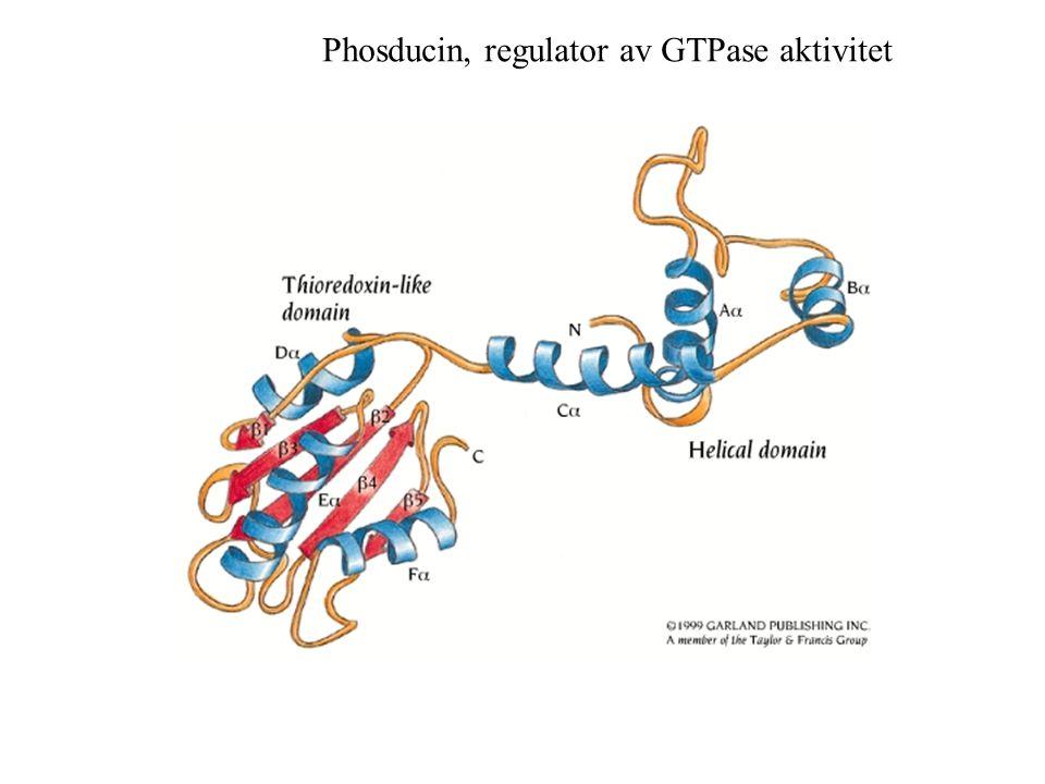 Phosducin, regulator av GTPase aktivitet