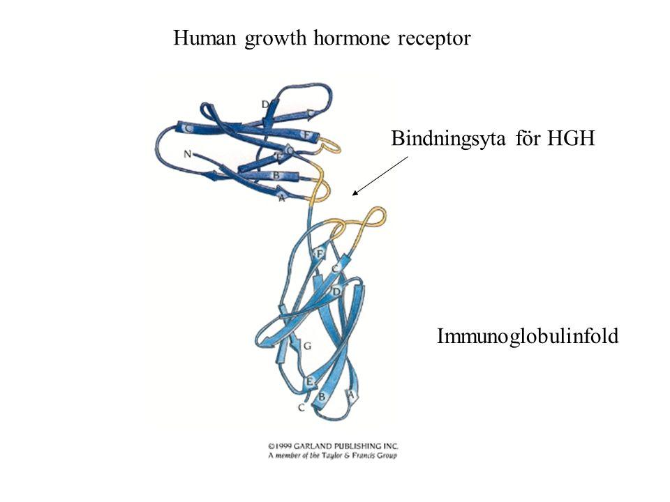 Human growth hormone receptor Immunoglobulinfold Bindningsyta för HGH